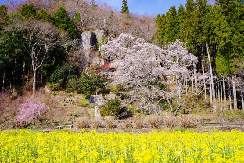 春はすぐそこ!おすすめ桜スポット☆