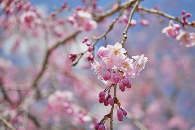 【もうすぐ見頃】桜の名所♪